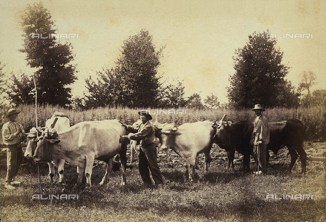 Farmers and oxen in a field