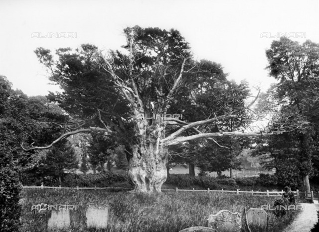 Ancient yew tree, Aldworth, Berkshire, 1895. The old yew tree in the churchyard, which is at least 1000 years old. It was uprooted by a storm in 1976. A part of the old root still survives and had produced new growth