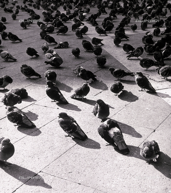 """Pigeons"". A close-up of a group of pigeons, gathered on a city street"