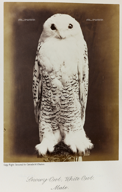 """""""Our birds of prey, or the eagles, hawks, and owls of Canada"""": Snowy owl; White owl; male"""