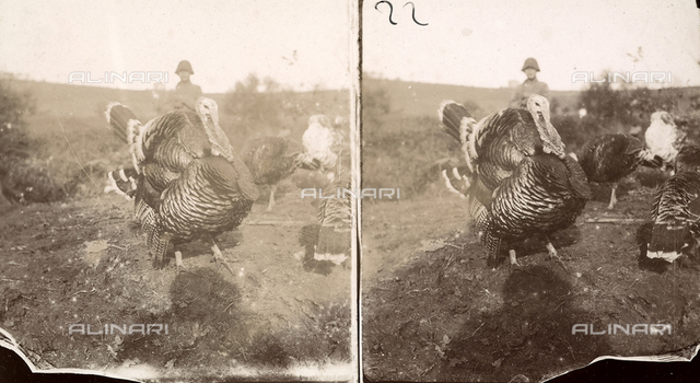 Some turkeys with a young farmer in the background.