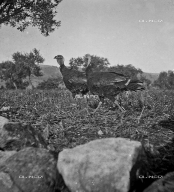 Portrait of turkeys