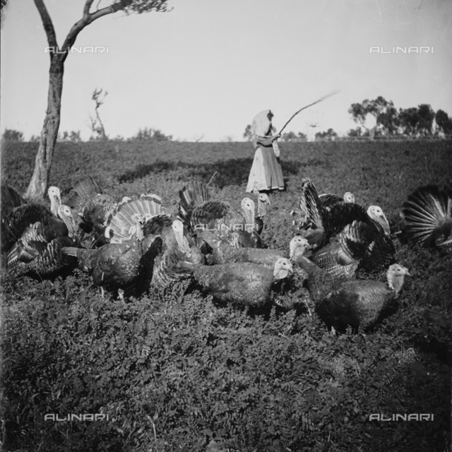 Group of turkeys in a rural landscape, in the background a young peasant