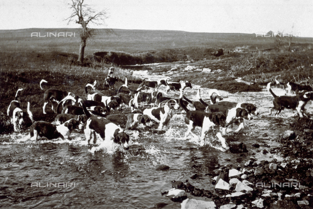 Pack of hunting dogs fording a stream