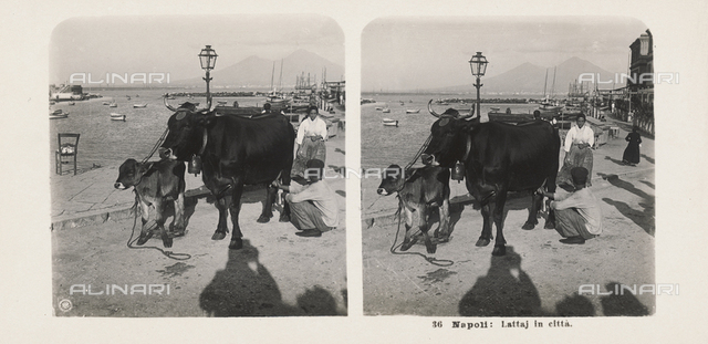 The Port of Naples. In the foreground a milkman milking a cow, with a calf next to him. In the lower part of the picture the shadow of the photographer can be seen