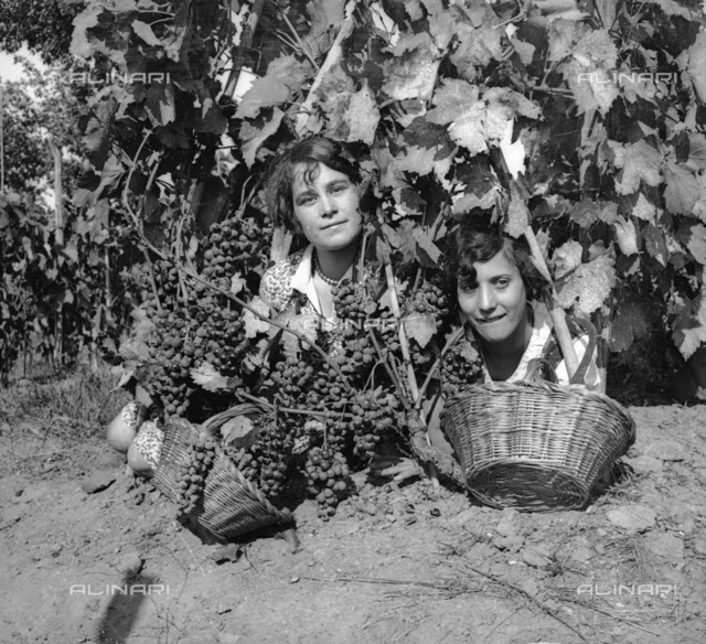 Grape harvesting: Women at work