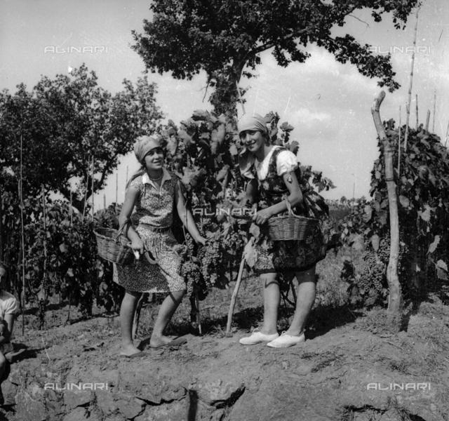 Grape harvesting: Women at work