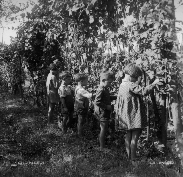 Grape harvesting: a group of children at work