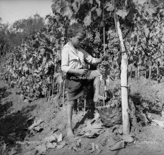 Grape harvesting: a child to work