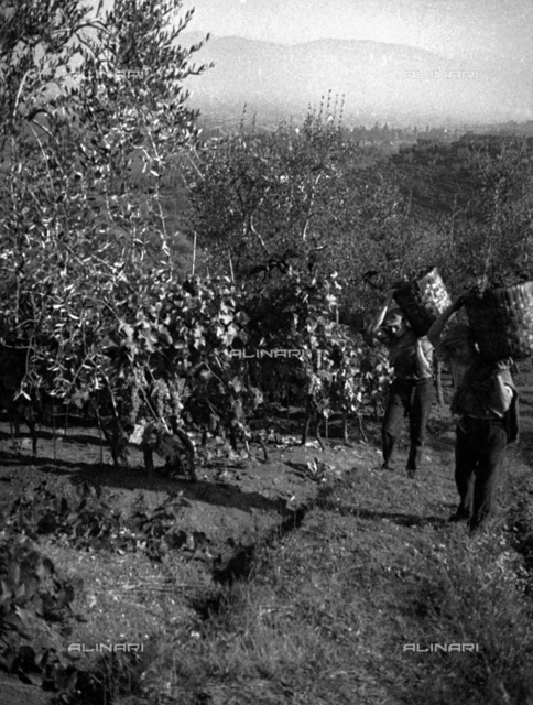 Grape harvest in Forrottoli, Quarrata