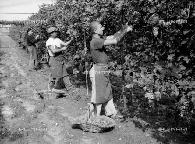 Grape harvest in Forrottoli, Quarrata