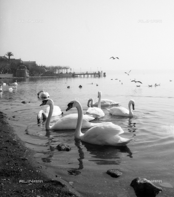 Swans in the sea in Trevignano