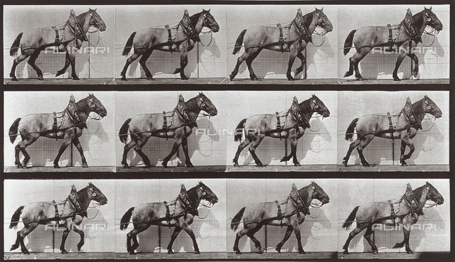 """Animal Locomotion"" (plate 567): sequence with horse walking"
