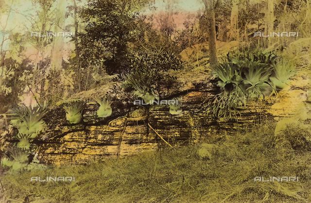"""Wild flowers and animals of Australia"": some ""elk-horn"" plants"