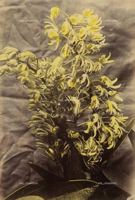 """Wild flowers and animals of Australia"": Australian orchids"