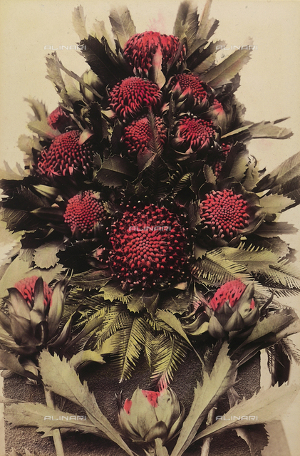 """Wild flowers and animals of Australia"": composition of waratah (telopea) flowers"