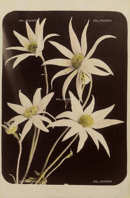 """Wild flowers and animals of Australia"": ""flannel flower"""
