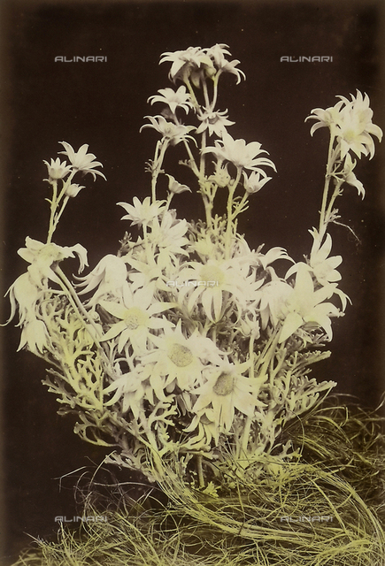 """Wild flowers and animals of Australia"" : ""flannel flowers"""
