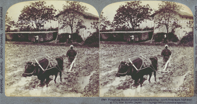 Peasant in Uji in Japan plowing a field with a large black ox. The field is flooded and rice will be planted. In the background a few trees and a farm