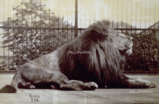 A lion crouching, seen full-length and in profile. Behind it some iron bars which are perhaps the animal's cage in the zoo which hosts the lion.