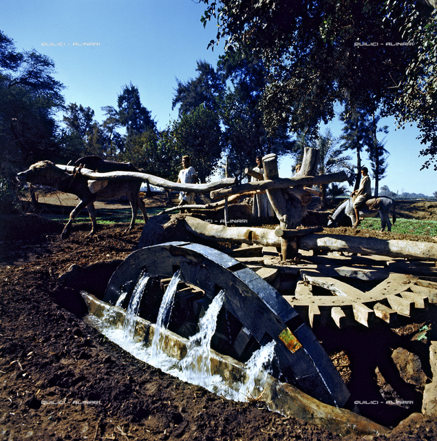 On the banks of the Nile, an archaic wheel driven by an ox, pump water to irrigate fields