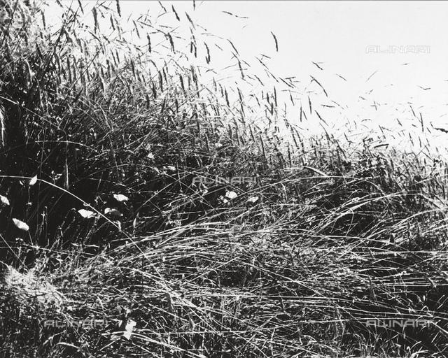 Stalks of grain