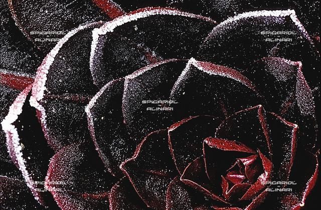 rosa nera@Radicchio di Treviso Rosso Tardivo IGP
