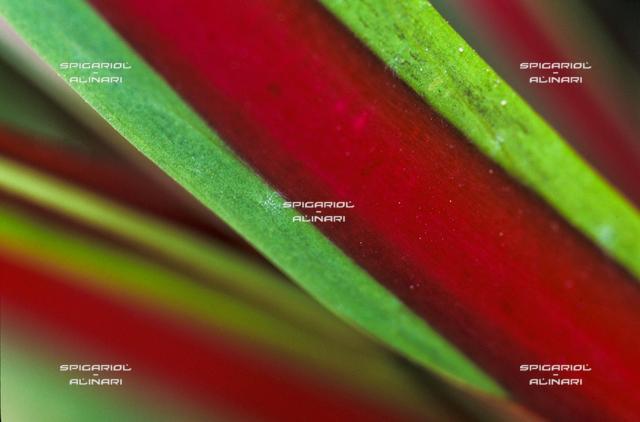 rosso verde@Radicchio di Treviso Rosso Tardivo IGP