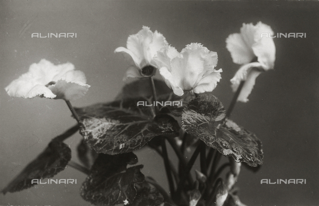 Four cyclamens with leaves and buds