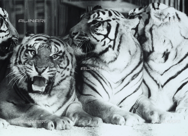 Group of tigers in a zoo.