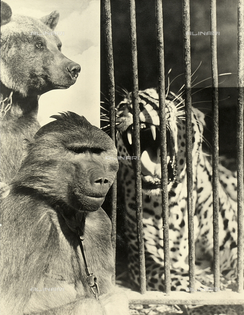 Assemblage of various images depicting circus animals: a leopard in a cage, a bear and a monkey with a chain on its collar.