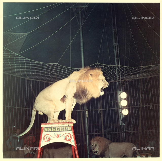 A lion on the act of roaring, standing on a pedestal inside a circus cage. Around him, other lions and lionesses are visible.
