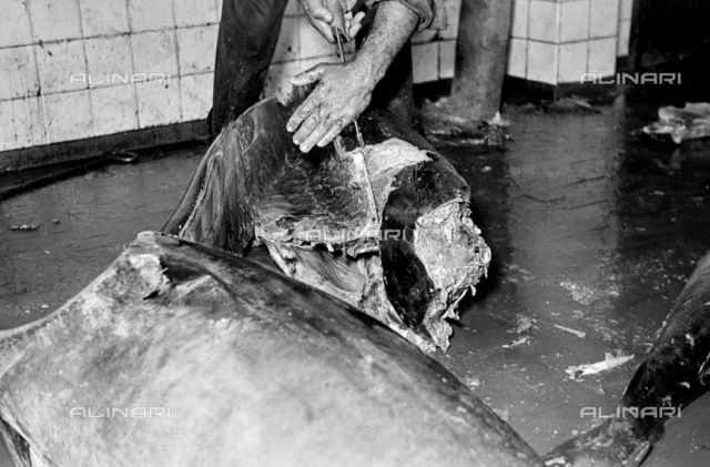 Fish company Regnoli: a worker engaged in cutting a tuna during the processing