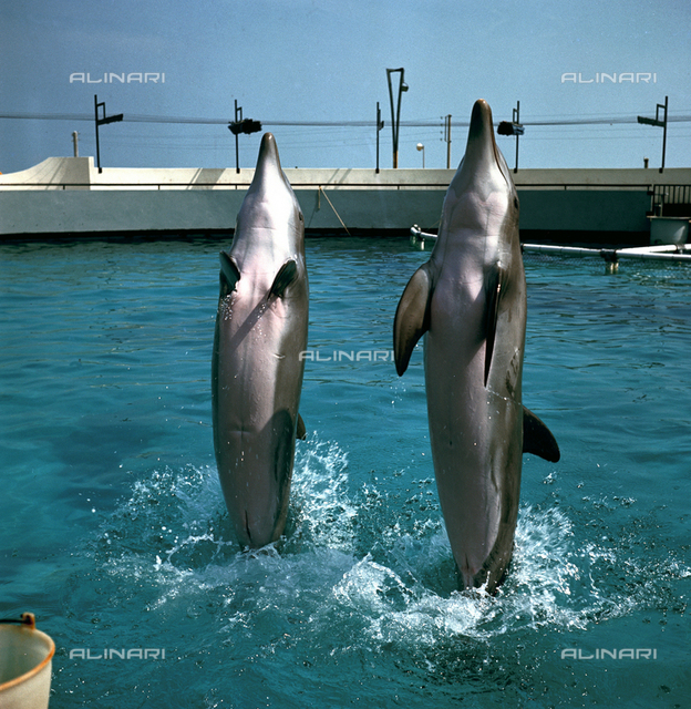 Dolphins during a performance at the Riccione Aquarium