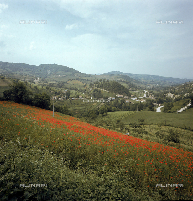 Panorama of the hills around the old medieval city of Fossombrone. In the foreground a sunny field of poppies